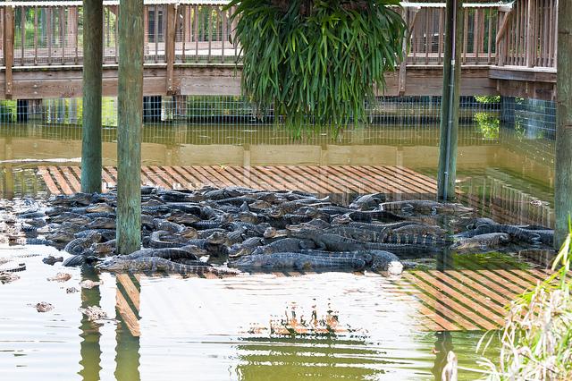 Alligators in Orlando