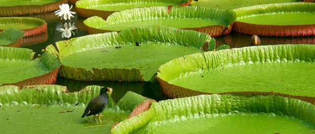 Endangered Species: Mauritius' Giant Water Lily